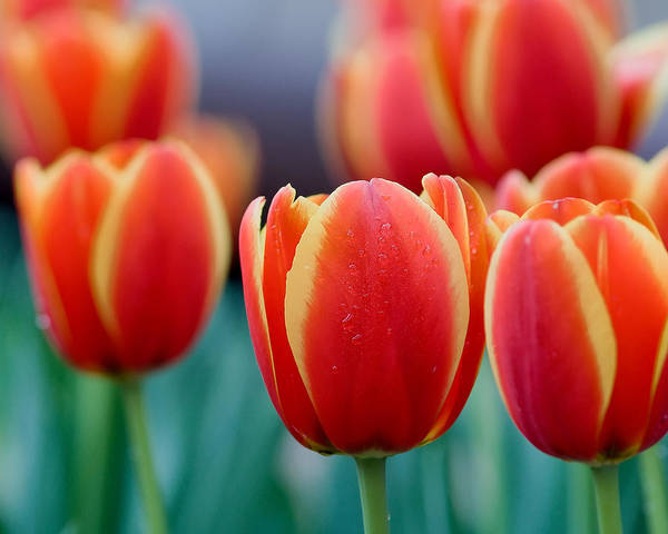 Photograph - Orange And Yellow Tulips by Rospotte Photography