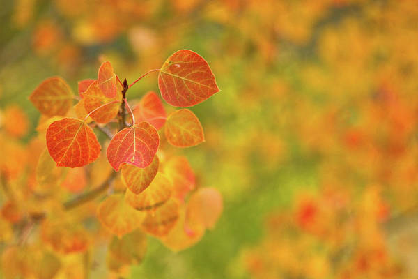 Aspen Photograph - Orange Aspen With An Orange And Green by Ronda Kimbrow Photography