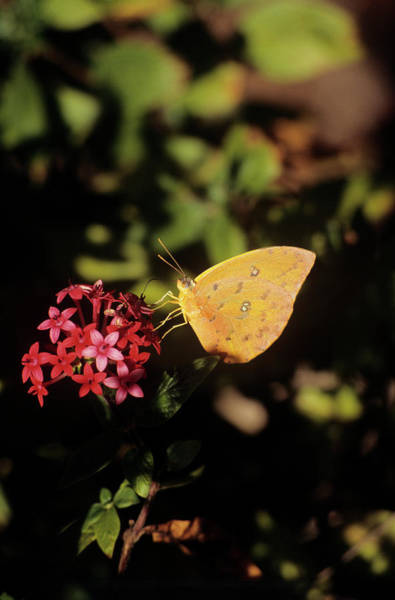 Sulfur Butterfly Wall Art - Photograph - Orange-barred Giant Sulphur Butterfly by Sally Mccrae Kuyper/science Photo Library