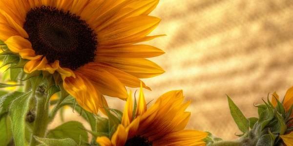 Photograph - Orange Burst - Sunflower - Mike Hope by Michael Hope