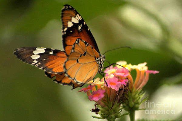 Photograph - Orange Butterfly On Pink Flowers by Jeremy Hayden