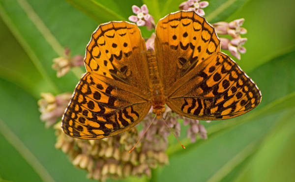 Photograph - Orange Butterfly3 by Rima Biswas