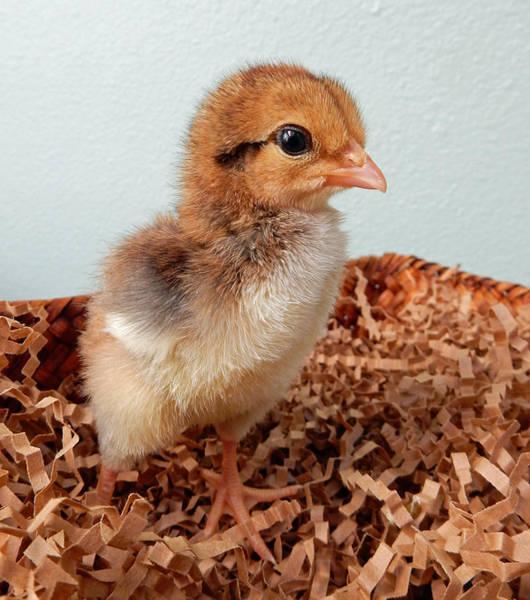 Photograph - Orange Chick by Pamela Walton