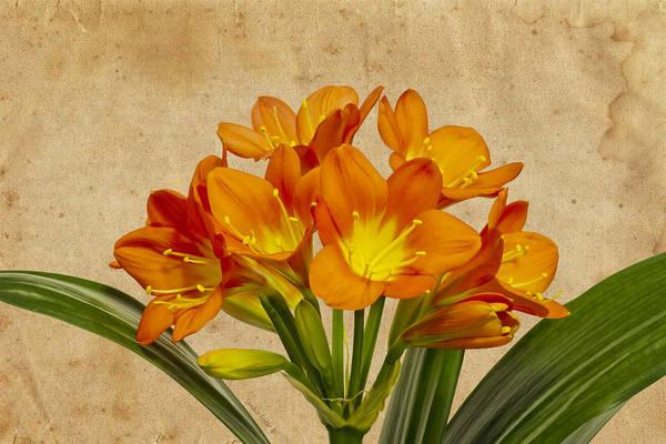 Clivia Wall Art - Photograph - Orange Clivia Lily  by Sandra Foster