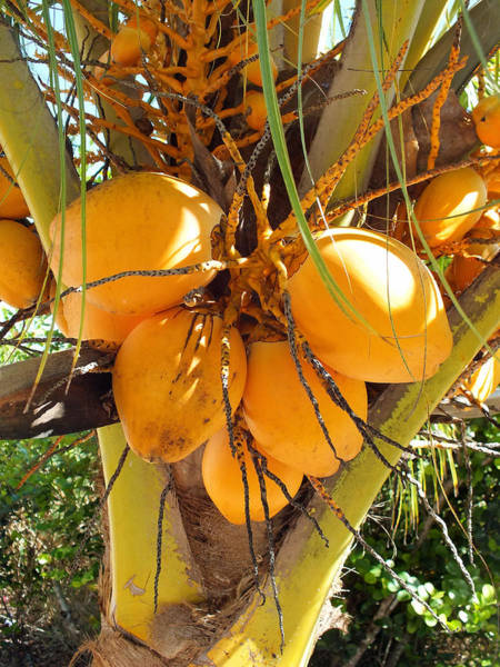 Photograph - Orange Coconuts Upclose On Eleuthera by Duane McCullough