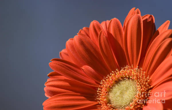 Photograph - Orange Daisy With Blue Sky by Jill Lang