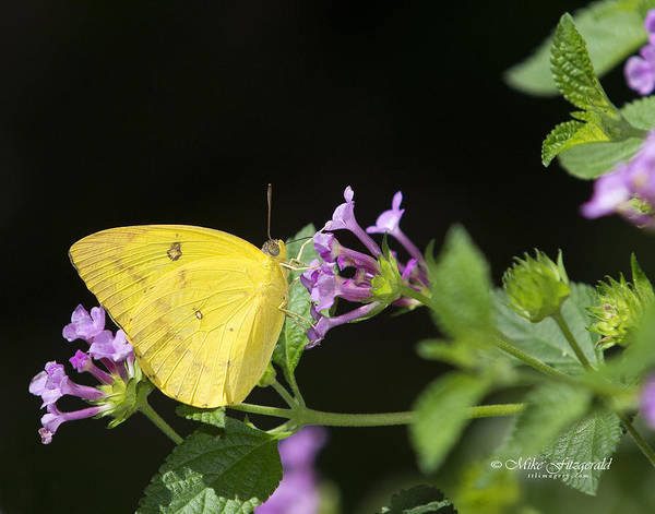 Photograph - Orange Emigrant by Mike Fitzgerald