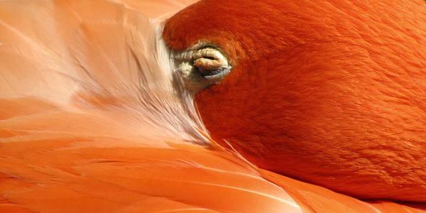 Flamingo Orange Eye Art Print