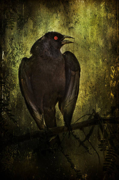 Cowbird Photograph - Orange-eyed Bird by Barbara Manis
