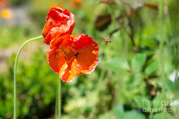 Photograph - Orange Flower And Bee by Yew Kwang