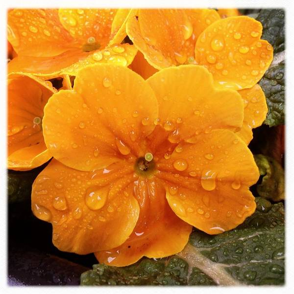 Orange Flower With Water Drops Art Print