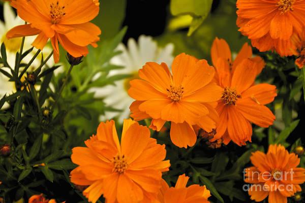 Bill Norton Wall Art - Photograph - Orange Flowers by William Norton