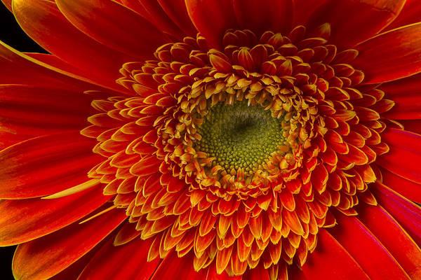 Mum Photograph - Orange Gerbera Daisy by Garry Gay
