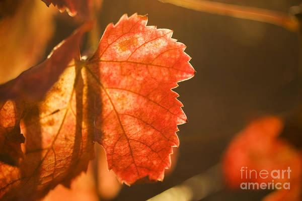 Photograph - Orange Grape Leaf Macro by Charmian Vistaunet