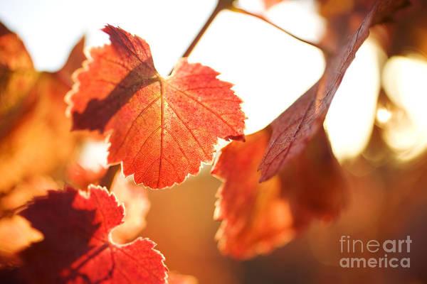 Photograph - Orange Grapevine Leaves by Charmian Vistaunet