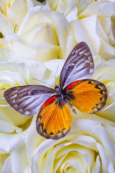 Orange Rose Photograph - Orange Gray Butterfly by Garry Gay