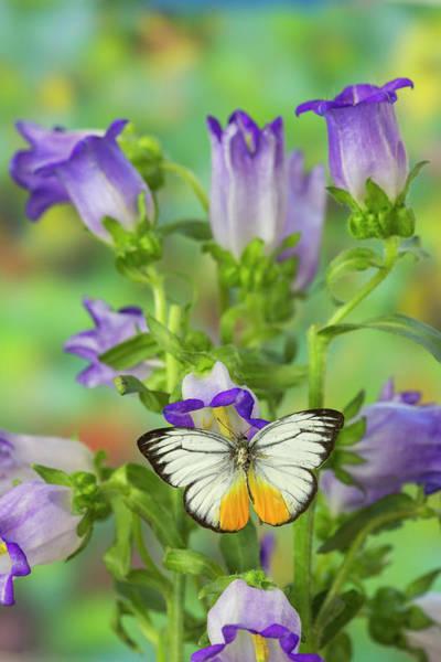 Cepora Photograph - Orange Gull Butterfly, Cepora Iudith by Darrell Gulin