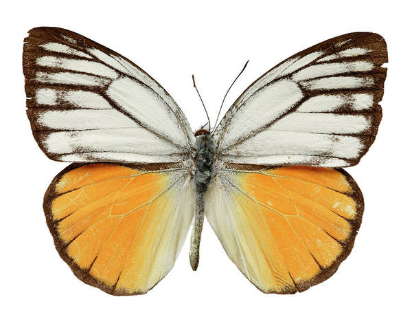Cepora Photograph - Orange Gull Butterfly by Natural History Museum, London/science Photo Library