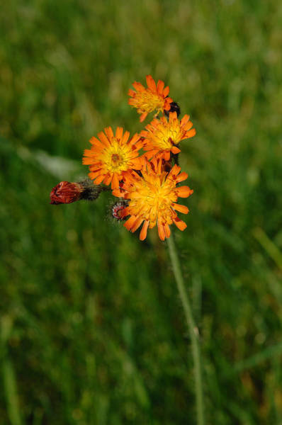 Wall Art - Photograph - Orange Hawkweed by John W. Bova