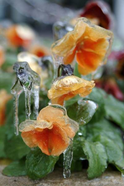 Orange Iced Pansies Art Print