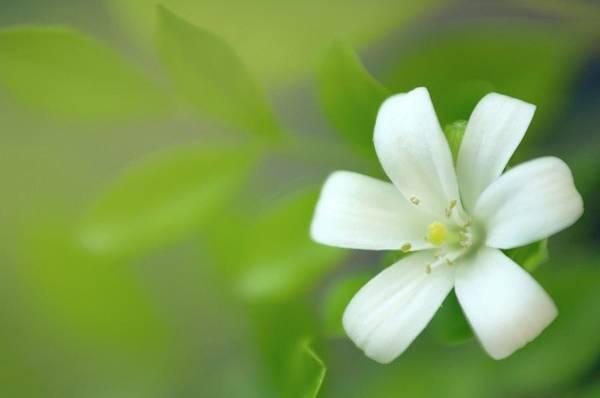 Jasmine Photograph - Orange Jasmine (murraya Paniculata) by Maria Mosolova/science Photo Library