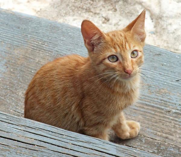 Orange Kitten 2 At The Front Porch Art Print