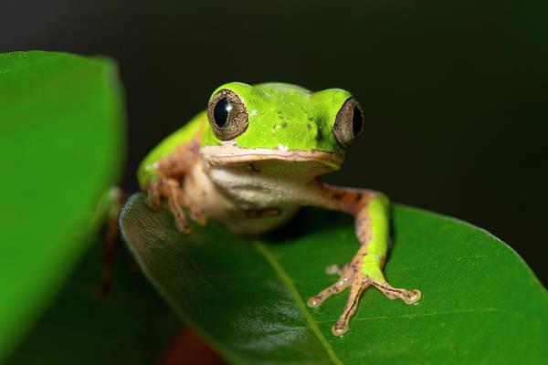 Shield Photograph - Orange-legged Leaf Frog by Louise Murray/science Photo Library