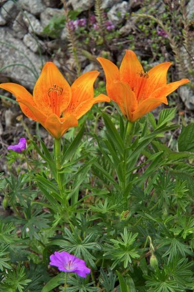 Wall Art - Photograph - Orange Lily (lilium Bulbiferum Var. Croceum) by Bob Gibbons/science Photo Library