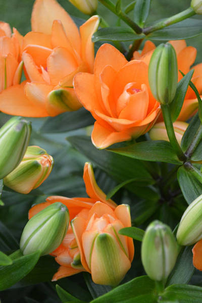 Photograph - Orange Lily by Tine Nordbred