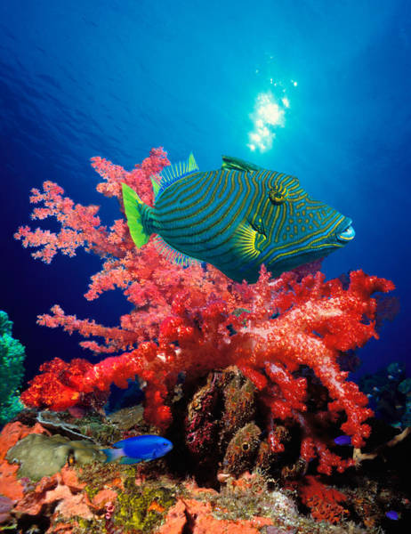 Vertical Line Wall Art - Photograph - Orange-lined Triggerfish Balistapus by Panoramic Images
