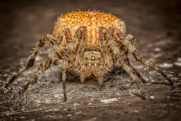 Orb Photograph - Orange Marbled Orb Weaver by Adam Romanowicz