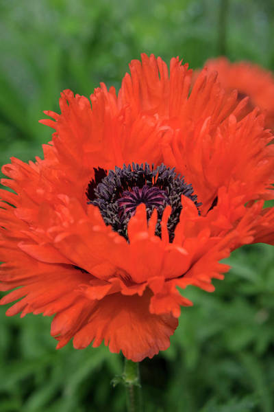 Bristol Photograph - Orange Oriental Poppies, Usa by Lisa S. Engelbrecht