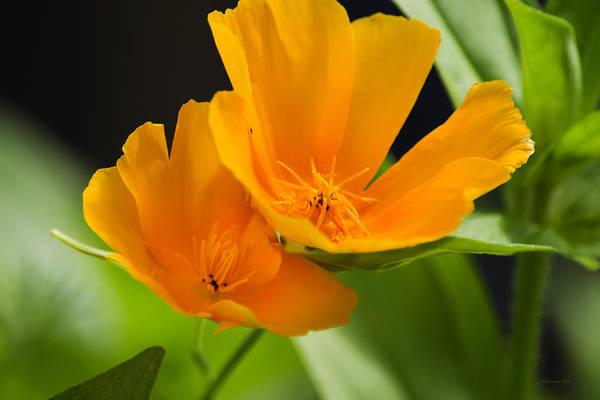 Photograph - Orange Poppies by Christina Rollo