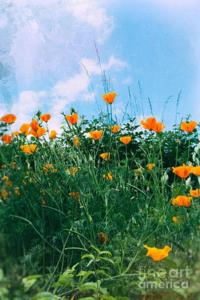 Photograph - Orange Poppies by Silvia Ganora