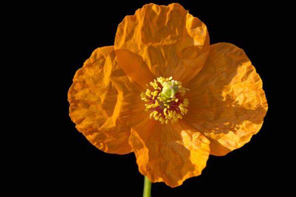 Photograph - Orange Poppy Flower by Matthias Hauser