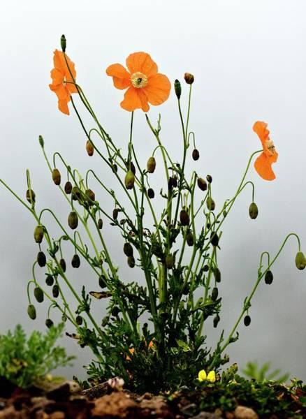 Angiosperm Photograph - Orange Poppy (papaver Fugax) In Flower by Bob Gibbons