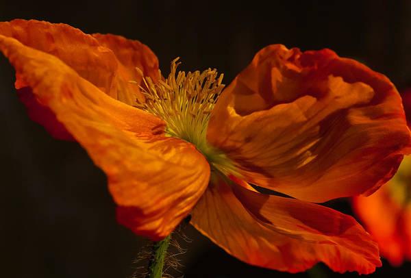 Photograph - Orange Poppy by Thomas Hall