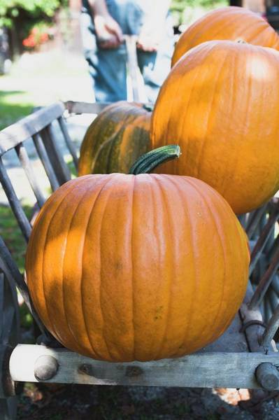 Cucurbits Photograph - Orange Pumpkins In Wooden Cart (out Of Doors) by Foodcollection
