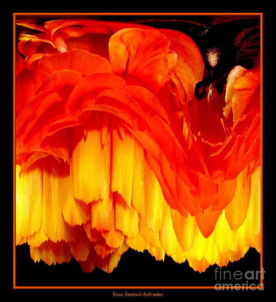 Photograph - Orange Ranunculus Abstract by Rose Santuci-Sofranko