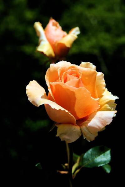 Filoli Photograph - Orange Rose by Debra Wagner