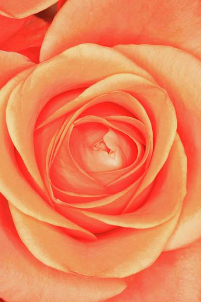 Coral Photograph - Orange Rose by Hiroshi Higuchi