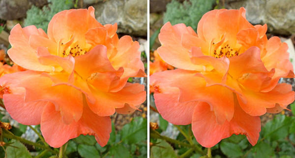 Photograph - Orange Rose In 3d Stereo by Duane McCullough