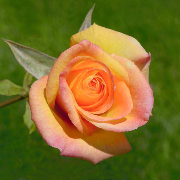 Photograph - Orange Rose by Jon Exley