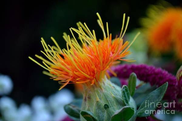 Orange Safflower Art Print