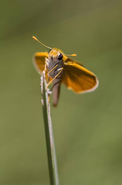 Photograph - Orange Skipperling by Steven Schwartzman