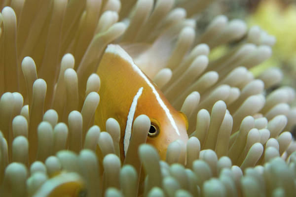 Skunk Photograph - Orange Skunk Clownfish by Michael Szoenyi/science Photo Library