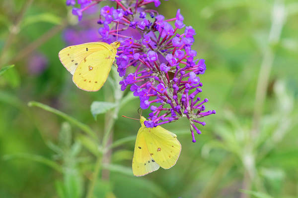 Butterfly Bush Wall Art - Photograph - Orange Sulphurs On Butterfly Bush by Richard and Susan Day