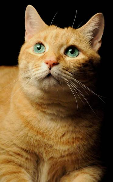 Orange Tabby Photograph - Orange Tabby by Diana Angstadt