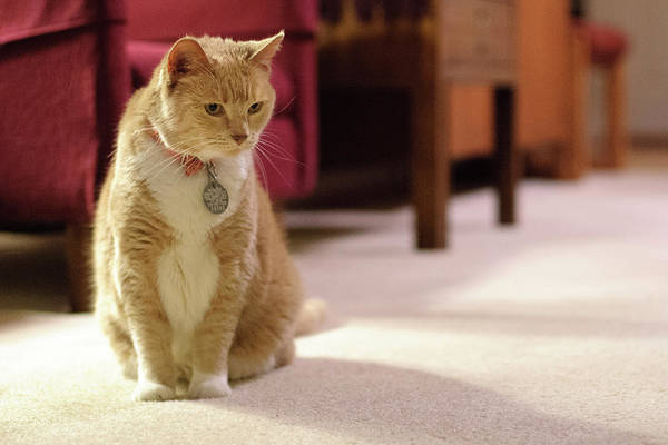 Orange Tabby Photograph - Orange Tabby Housecat Stares by Matt Freedman