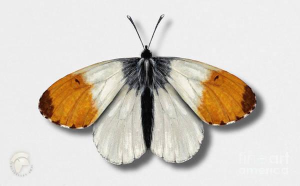 Painting - Orange Tip Butterfly - Anthocharis Cardamines Naturalistic Painting - Nettersheim Eifel by Urft Valley Art